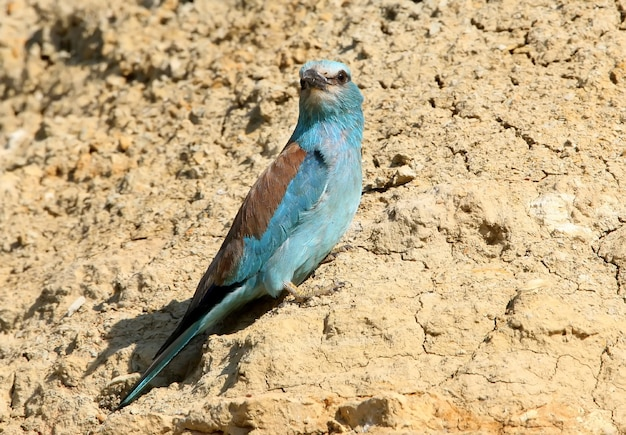 European roller sits on the sand wall close up view