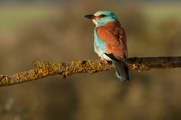 European roller with the first lights of the day, birds, coraciforms, coracias garrulus