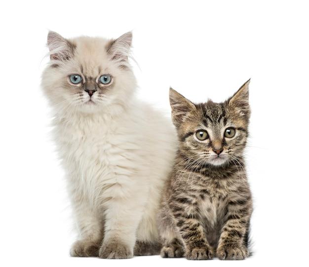 座っているとカメラを見てヨーロピアンショートヘアとブリティッシュショートヘアの子猫