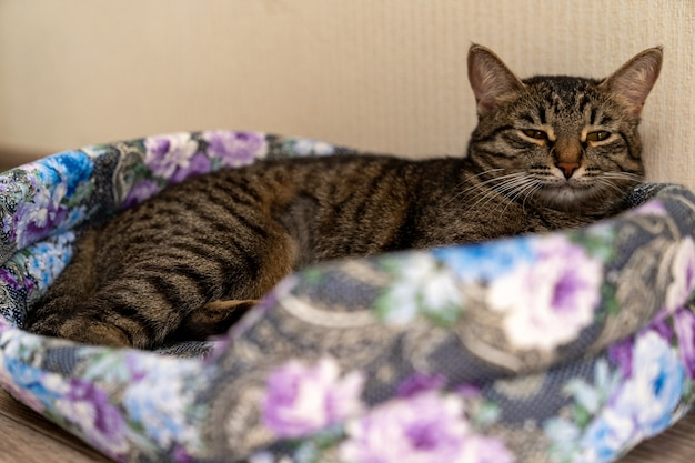 European shorthair cat lies relaxed on a special cat bed