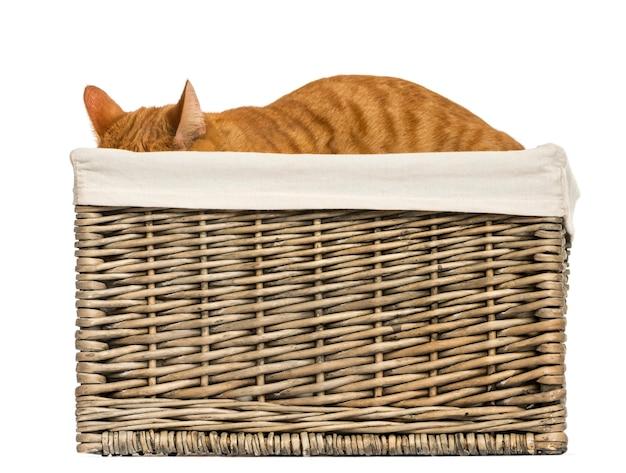 Европейская короткошерстная кошка прячется в плетеной корзине, изолированной на белом