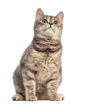 Европейская короткошерстная кошка, изолированные на белом фоне