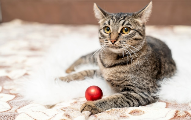 European shorthair kitten playing with a ball on the couch