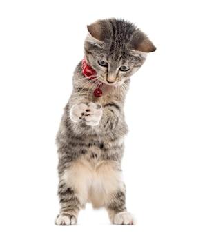 그의 발을 가지고 노는 유럽 쇼트 헤어 고양이는 흰색에 고립