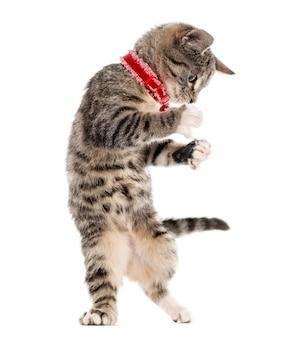 白で隔離された彼の足で遊んでいるヨーロピアンショートヘアの子猫