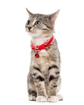유럽 쇼트 헤어 고양이 앉아서 멀리 흰색 절연 찾고