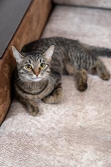 European shorthair kitty lies on the soft surface of the sofa