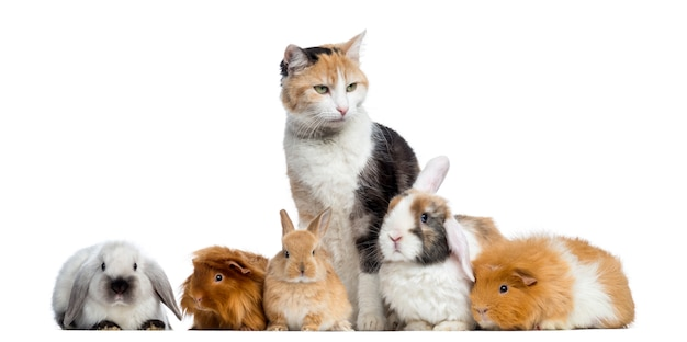 European shorthair with rabbits and guinea pigs in a row