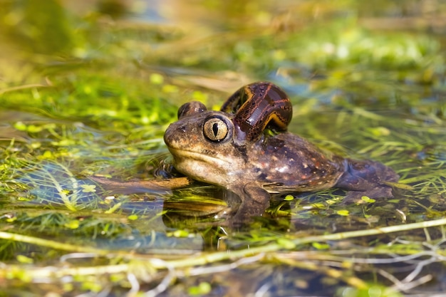 European spadefoot toad with leech attached to neck