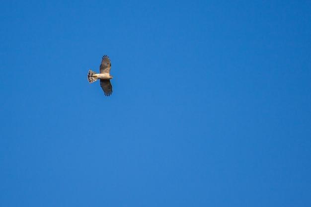 Европейский перепелятник (accipiter nisus) в полете