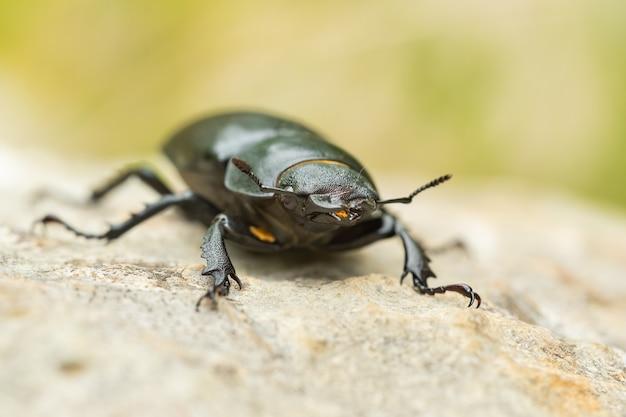 Европейский жук-олень (lacerta viridis) сидит на камне