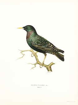 European starling (sturnus vulgaris) illustrated by the von wright brothers.