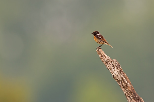 European stonechat sitting on the bought in the summer