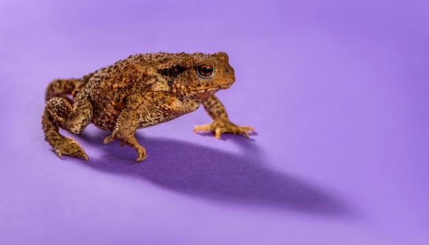 紫色の背景の前にヨーロッパヒキガエル、bufo bufo