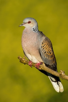 European turtle dove sitting on branch in summer nature.