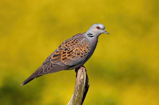 Европейская черепаха голубь сидит на ветке в летней природе.
