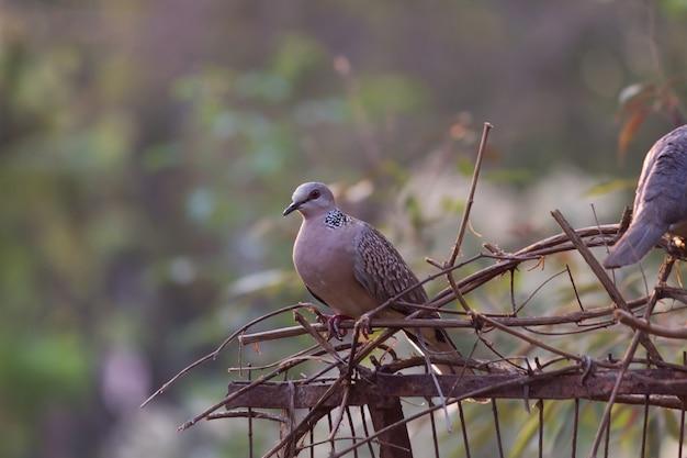 Европейский черепаховый голубь streptopelia turtur - член семейства птиц columbidae.