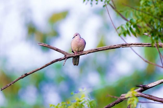 Европейская горлица streptopelia turtur turtur сидит на ветке дерева