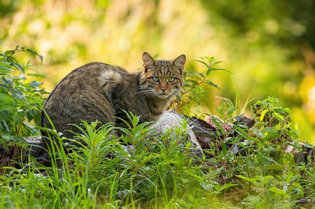 숲에서 녹색 식물에 숨어있는 유럽 야생 고양이.