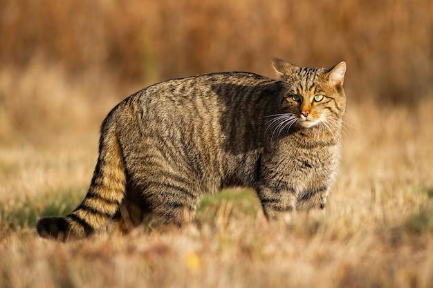 유럽 살쾡이, felis silvestris, 가을에 마른 들판에서 사냥. 잔디 초원 주변을 응시하고 관찰하는 살쾡이에게 경고하십시오. 광야에서 아름다운 눈을 가진 줄무늬 고양이.