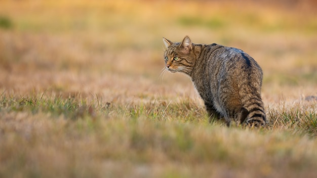 秋の自然の牧草地に立っているヨーロッパヤマネコ