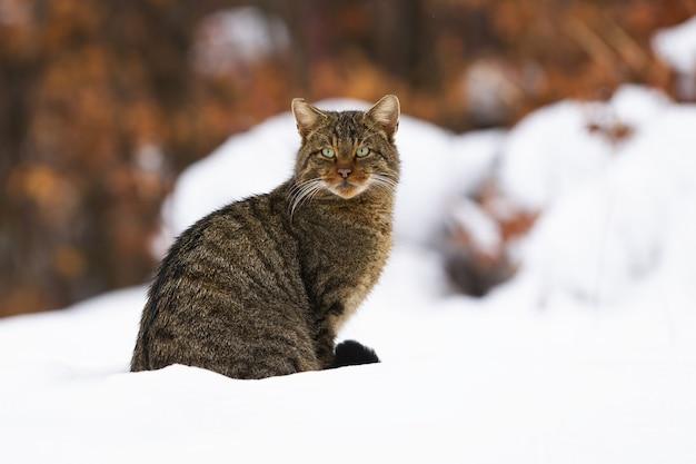 아름다운 녹색 눈이 눈에 앉아 유럽 살 cat이