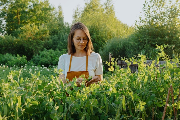 A european woman in an orange apron is harvesting cucumbers and peas in her garden a woman gardener