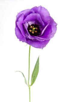 Eustoma flowers on whtite