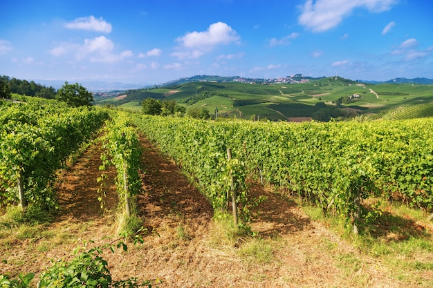 Even rows of grapes growing on natural hills in italy. piedmont region
