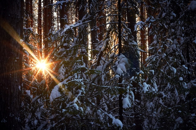 Evening in the dark forest, christmas. sun rays in the dark