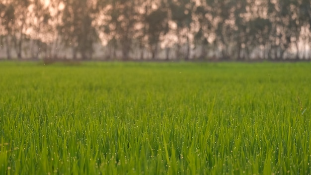 In the evening the rice leaves have loosened water at the tips of the leaves