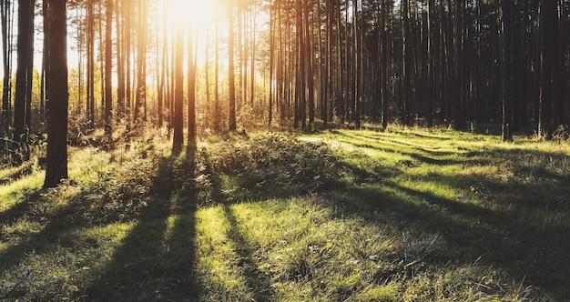 Вечерний солнечный свет в лесу, длинные тени на зеленой траве