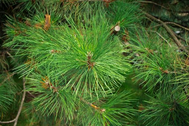 Вечнозеленый фон свежее лето сосновые иглы зеленые листья фон текстура сосновой ветки