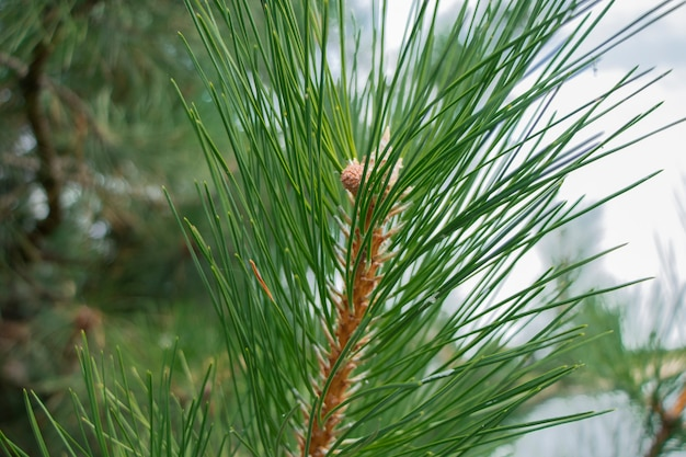 Evergreen background fresh summer pine needles green leaves backgroundtexture of pine branch