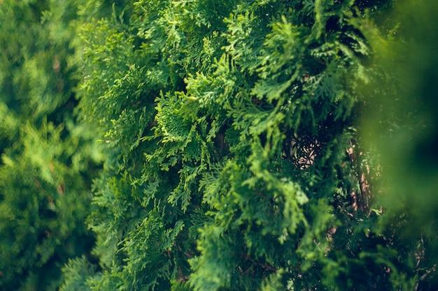 Thuja 속의 cypress 가족의 상록 침엽수이며 북미 동부 지역에서 자연적으로 발생합니다. 조경 설계. 자연 배경 텍스처입니다. 선택적 초점 흐림.