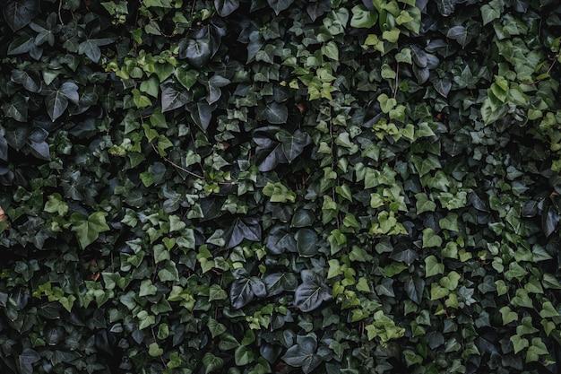 Вечнозеленые листья плетистого плюща