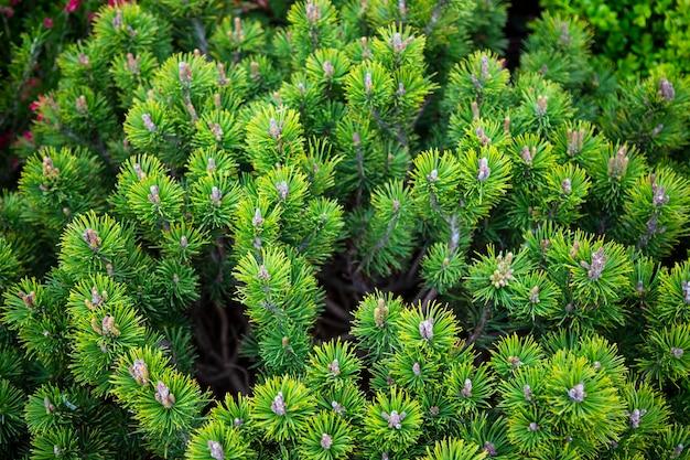 常緑の松の枝の背景、自然の針葉樹の背景