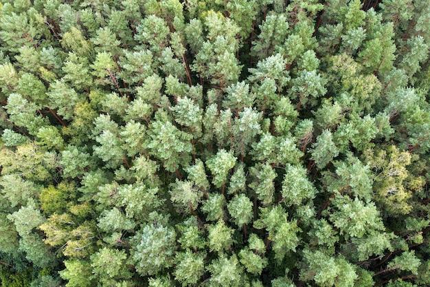 Вечнозеленый сосновый бор, вид с воздуха. хвойный лес. зеленые сосны, летний пейзаж