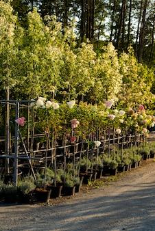정원 센터의 상록 재배, 조경을위한 욕조의 식물 프리미엄 사진