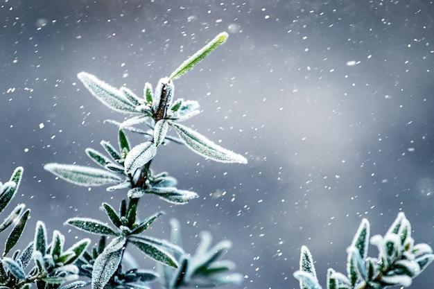 降雪時の庭の常緑低木
