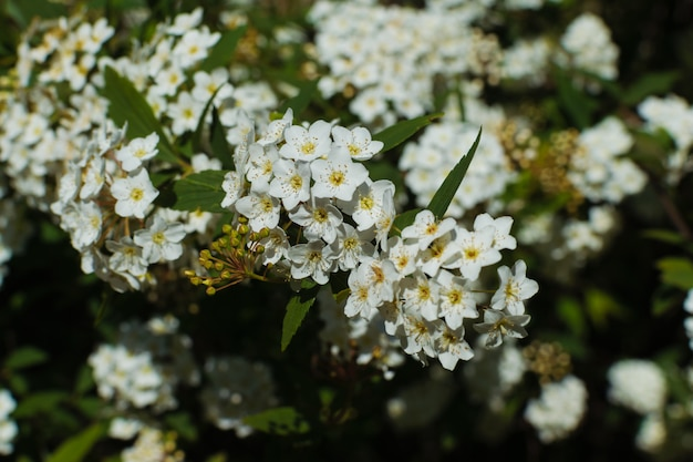 Evergreen shrub with little white flowers in spring. laurustinus or viburnum tinus plant background.