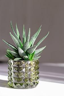 Evergreen succulent haworthia in glass pot on white table
