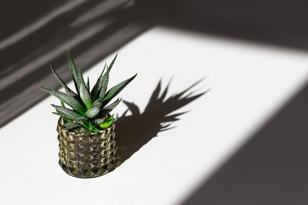 Evergreen succulent haworthia in glass pot with dark shadows.