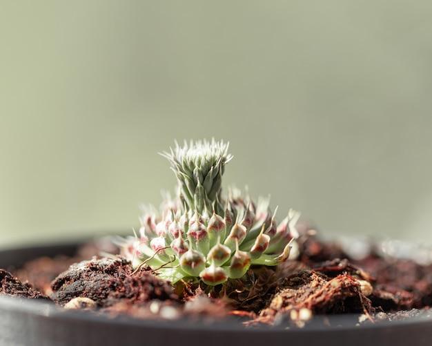 햇빛과 함께 새로운 새싹이 있는 상록 즙이 많은 식물