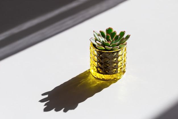 Evergreen succulent in yellow glass pot on white table. home plant cactus in small flowerpot with dark shadows.