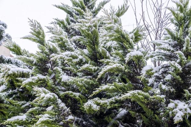 雪に覆われた常緑のクロベの木