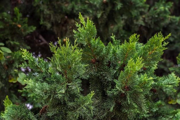 Evergreen tree thuja