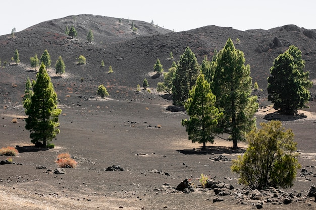 Evergreen trees growing on volcanic soil