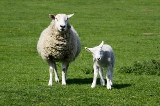 Овцы и ягненка
