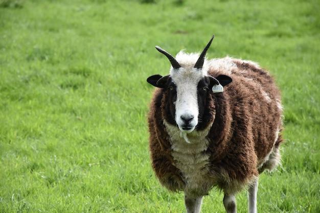 Pecora con le corna in piedi in un lussureggiante campo di erba in inghilterra.
